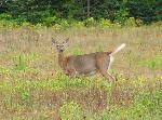 White tailed deer[4]
