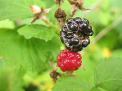 Pick Wild Raspberries