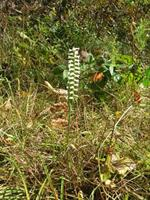 Ladies Tresses Orchids at Bobwhite