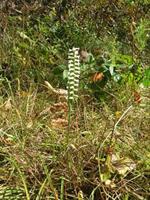 Ladies Tresses Orchids at Bobwhite
