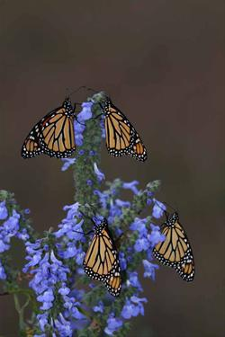 Monarchs on Blue Sage
