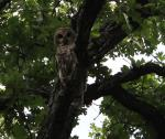 Barred Owl at Fife