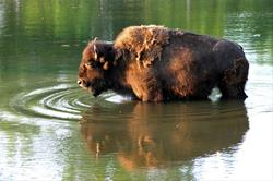 Bison in water