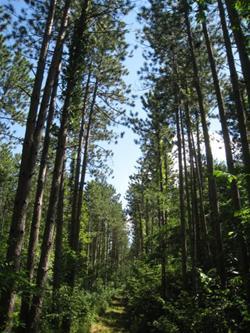 Livingston Timber Pines