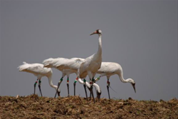Whooping Cranes in Winnebago County