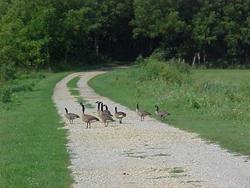 Canadian Geese Hamlin Garland Wildlife Area