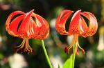 Michigan lilies at Chipera Prairie