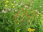 Greenwood Cemetery Prairie Flowers