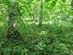 Mature Timber
