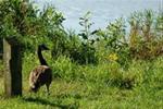 Canadian Geese at Swan Lake