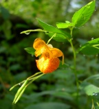 Jewelweed[4]